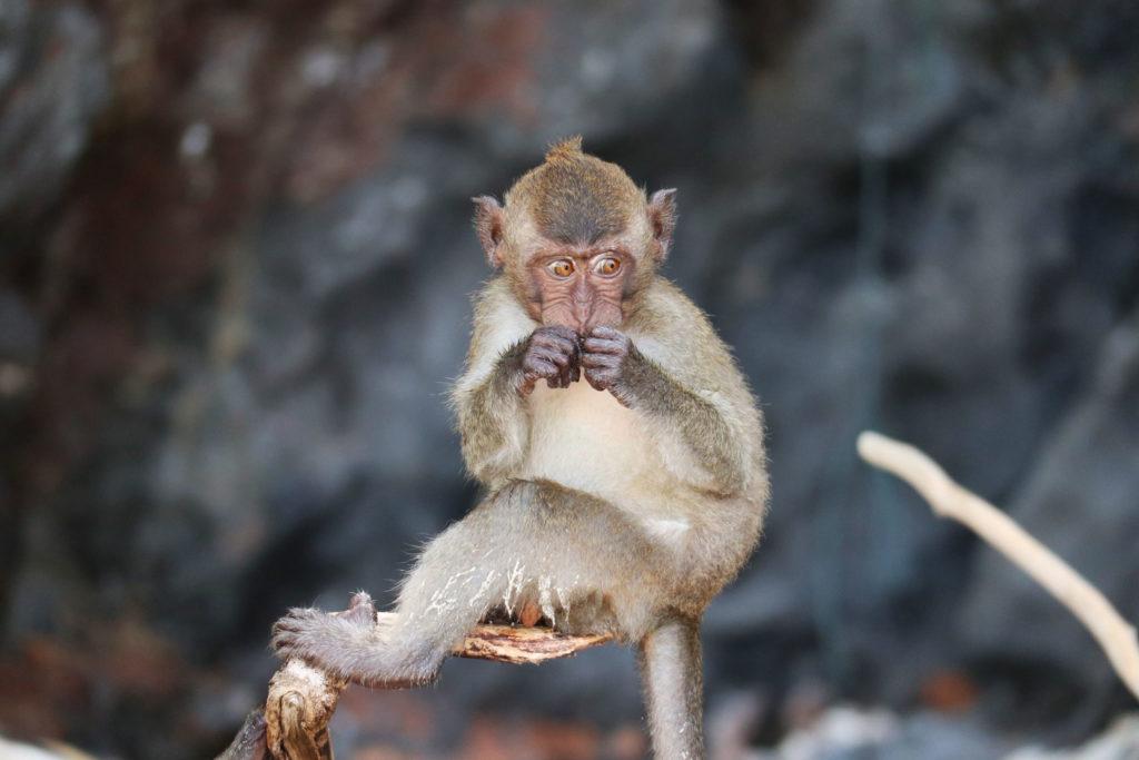 Monkey at the Monkeybeach
