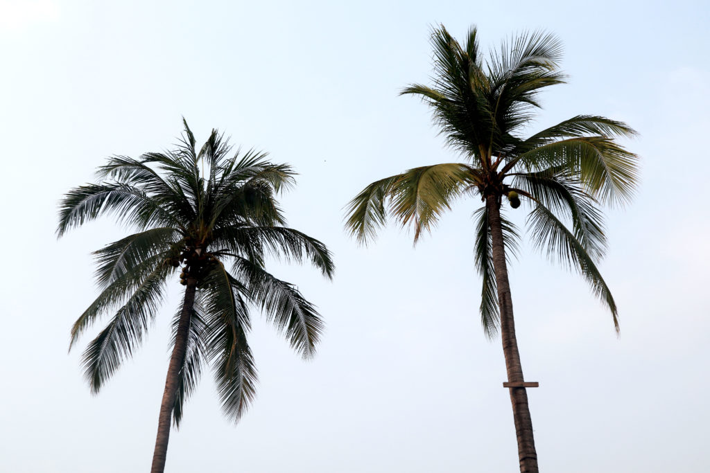 Palmtree in Thailand