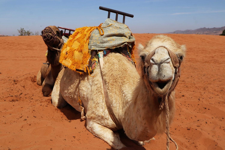 Camel in Morocco